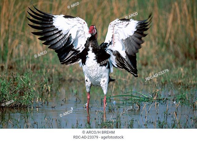 Spur-winged Goose Botswana Plectropterus gambensis flapping wings