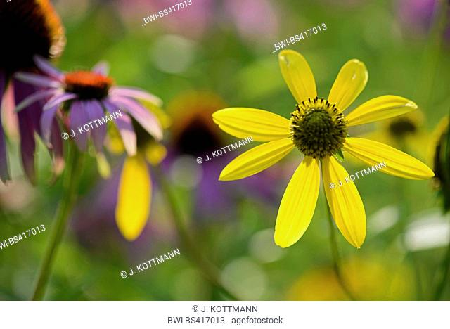 tickseed (Coreopsis spec.), together with Echinacea