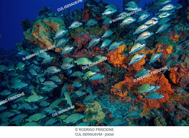 Underwater view of juvenile grunts and snapper schools swimming on coaral reefs , Cancun, Quintana Roo, Mexico