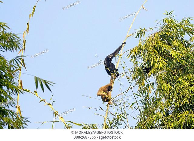 South east Asia, India,Tripura state,Gumti wildlife sanctuary,Western hoolock gibbon (Hoolock hoolock),adult male and female