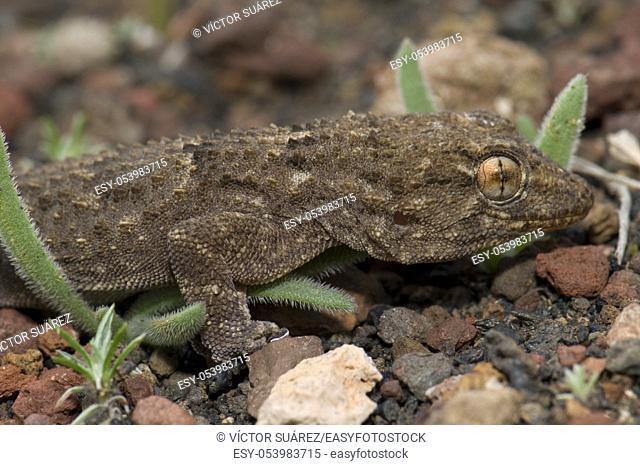 East Canary gecko (Tarentola angustimentalis). Arrecife. Lanzarote. Canary Islands. Spain