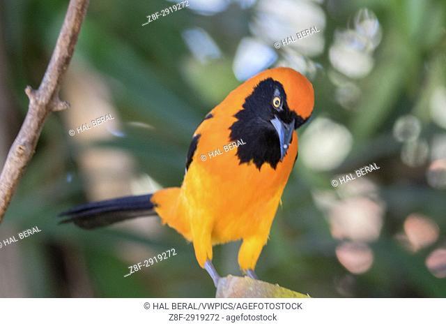 Orange-Backed Troupial also called Orange-Backed Oriole (Icterus croconotus) Pantanal, Brazil