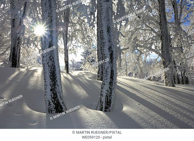 Snow covered trees in forest with sun as a back-lighting. Black Forest, Baden-Wuerttemberg (Baden-Wurttemberg), Germany, Europe