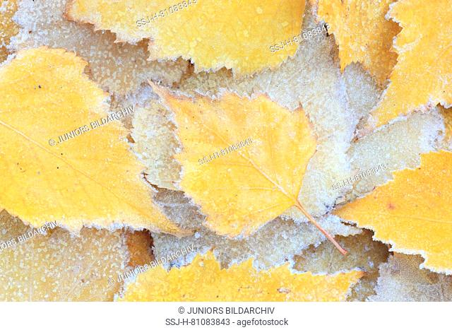 Close-up of birch leaves covered in hoarfrost, Switzerland
