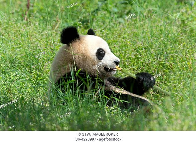 Giant Panda (Ailuropoda melanoleuca), two years, China Conservation and Research Centre for the Giant Panda, Chengdu, Sichuan, China