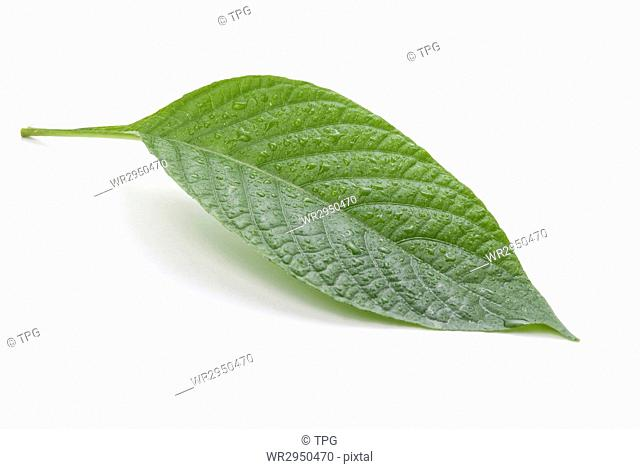 Green leaves isolated on white background, nature concept