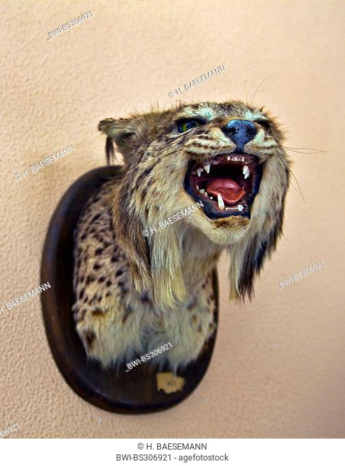 Spanish lynx (Lynx pardinus), hunting trophy at a wall, Spain, Andalusia, Coto De Donana National Park, La Rocina