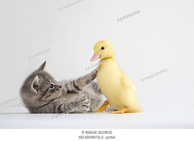 Kitten and duckling, studio shot