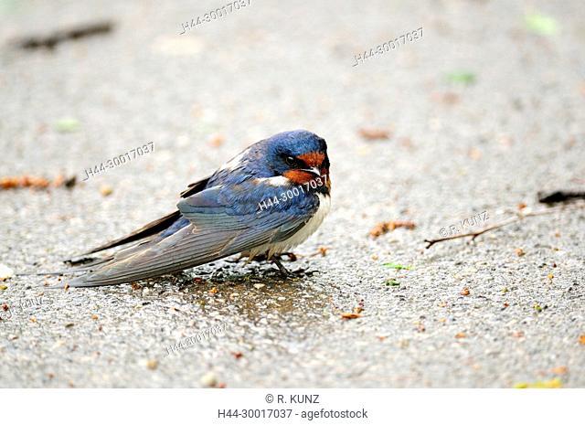 Barn Swallow, Hirundo rustica, Hirundinidae, Swallow, in the rain, bird, animal, Illmitz, Burgenland, Austria