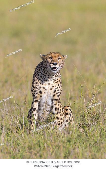 Cheetah (Acinonyx jubatus), Maasai Mara National Reserve, Kenya, Africa