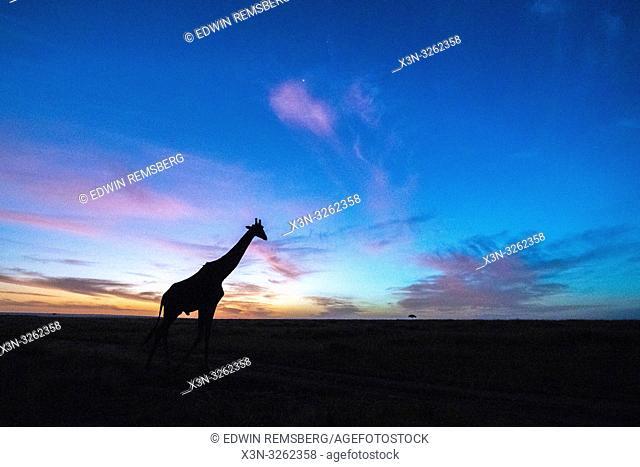 A singular giraffe breaks the plane of the horizon as the sun rises, Maasai Mara National Reserve, Kenya, Africa