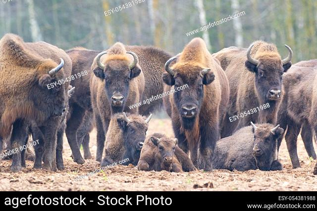 Free ranging european bison herd in wintertime forest, Bialowieza Forest, Poland, Europe