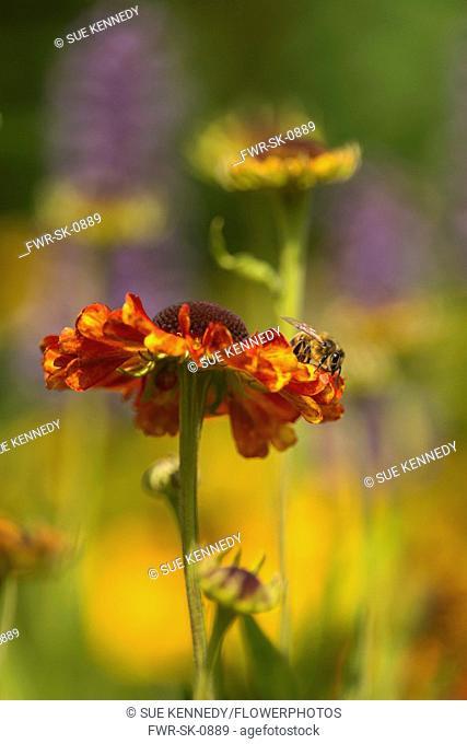 Helens flower, Sneezeweed, Honey bee, Apis mellifera, resting on a Sneezewort flower