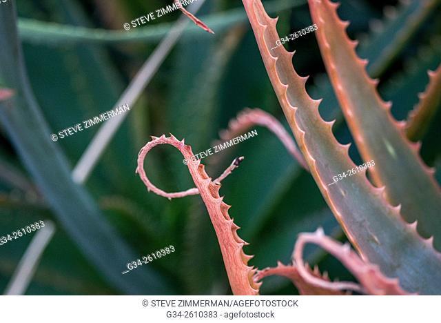 Cactus Curl