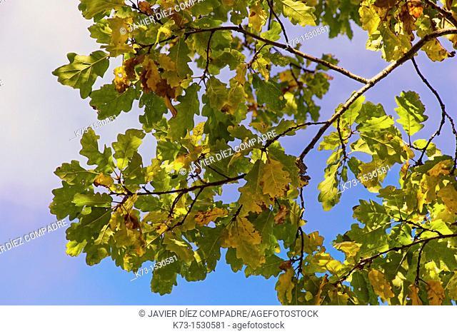 Leaves. Sessile Oak (Quercus Petraea). Picos de Europa National Park. Leon Province. Castilla y Leon. Spain