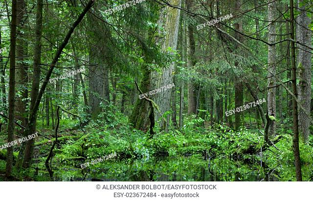 Deciduous stand of Bialowieza Forest in springtime rain after with old oak and spruce in background, Bialowieza forest, Poland, Europe