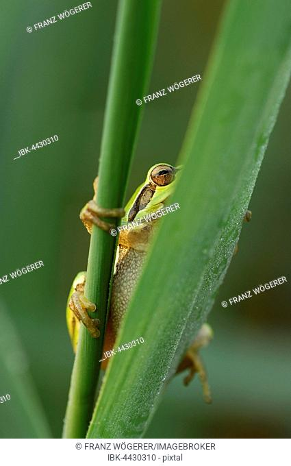 European tree frog (Hylea arborea), looking between green reeds, Lake Neusiedl, Burgenland, Austria