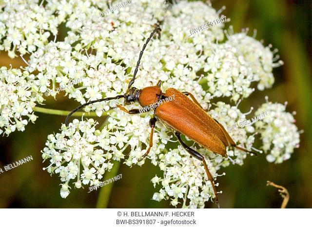 Red Longhorn Beetle (Anoplodera rubra, Stictoleptura rubra, Leptura rubra, Corymbia rubra, Aredolpona rubra), female, Germany