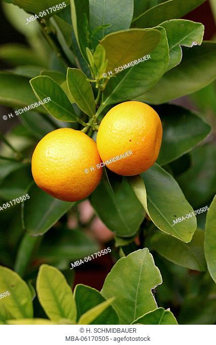 Kumquat, Citrus microcarpa, fruits