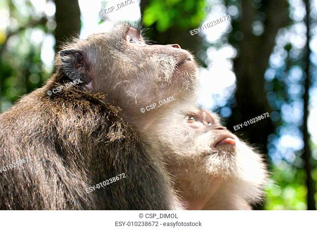 Two long tailed macaques looking at something