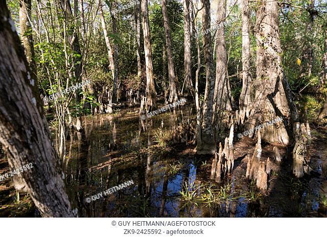 Cypress Knees, Everglades NP, FL