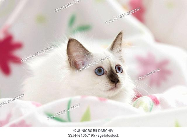 Sacred cat of Burma. Kitten lying on a white blanket with flower print. Germany