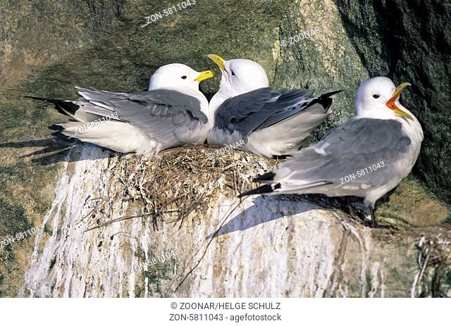 Dreizehenmoewen balzen auf ihrem Nest am Vogelfelsen / Black-legged Kittiwakes court on their nest at a bird rock - (Kittiwake) / Rissa tridactyla