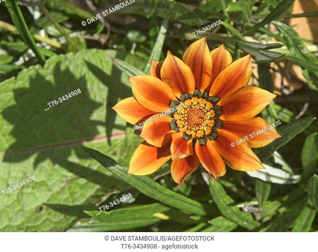 Beautiful treasure flower (Gazania rigens) Quito Botanical Gardens, Quito, Ecuador