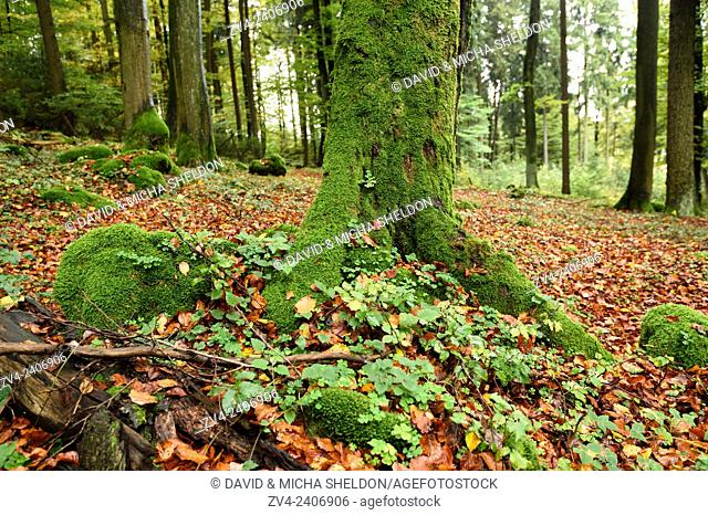 Landscape of a European beech or common beech (Fagus sylvatica) tree trunk in a forest in autumn