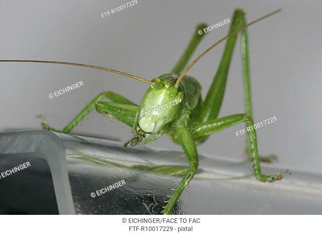 Close up of a grasshopper resting on a glass