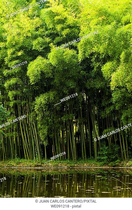 Bamboo grove in the gardens of the Lordship of Bertiz. Oieregi. Navarra. Spain