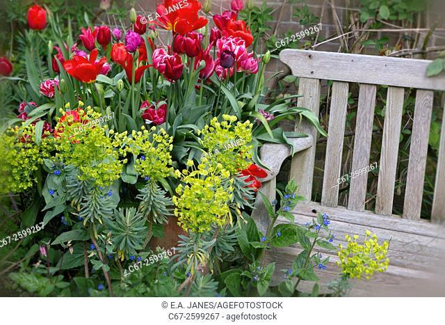 Tulip varieties;and Euphorbia with garden seat Spring Norfolk