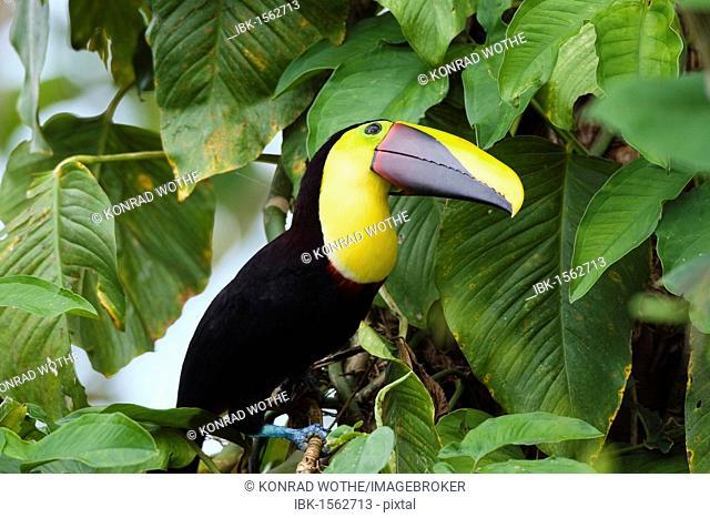 Swainson's Toucan (Ramphastos ambiguus swainsonii), rainforest, Braulio Carrillo National Park Costa Rica, Central America