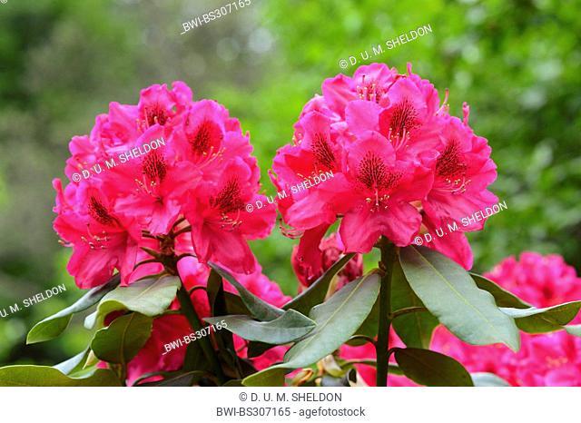Catawba rhododendron, Catawba rose bay (Rhododendron catawbiense), blooming