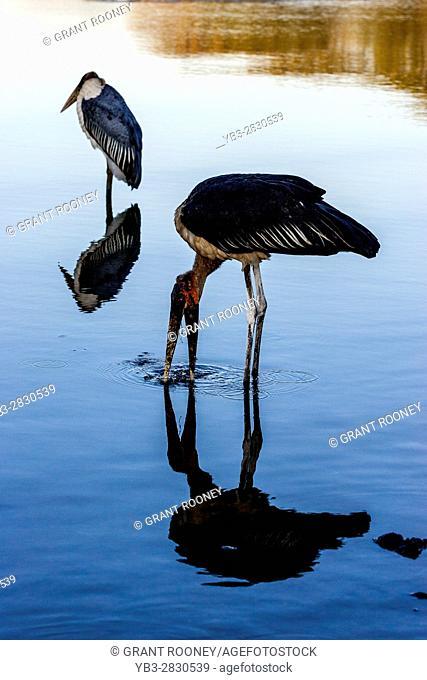 Marabou Storks (Leptoptilos Crumenifer) Lake Awassa, Ethiopia