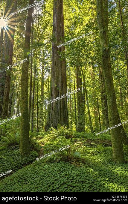 Lush Drury Chaney Grove Avenue of the Giants Humboldt Redwood SP CA USA