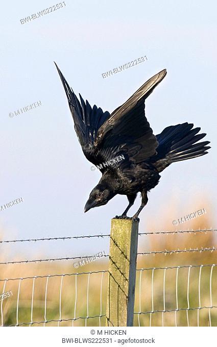 common raven Corvus corax, landing on fence post, United Kingdom, Scotland, Islay