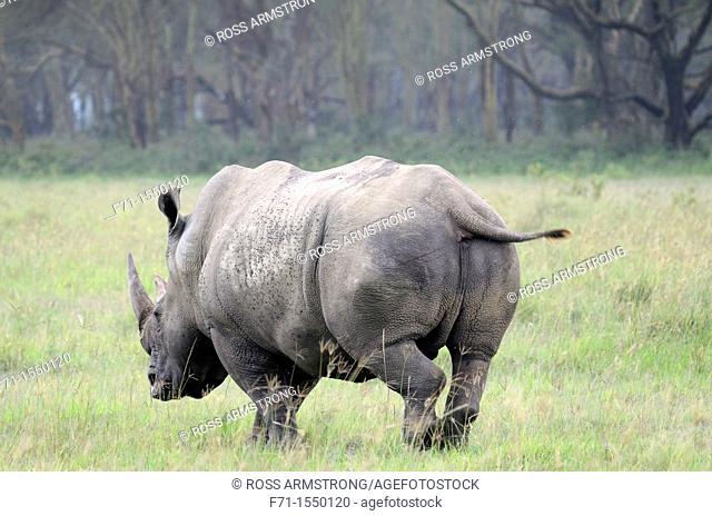 White Rhinoceros or Square-lipped rhinoceros Ceratotherium simum Lake Nakuru National Park Kenya Africa