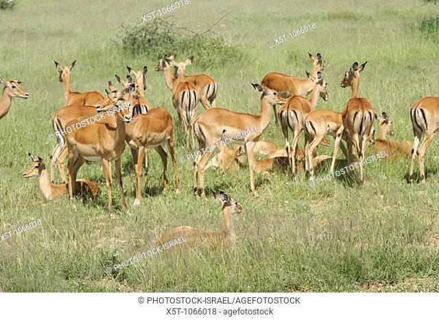 Africa, Tanzania, Lake Manyara National Park, a herd of impala Aepyceros melampus