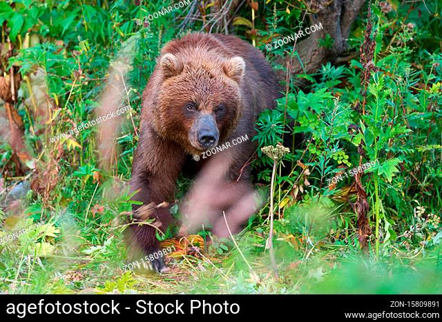 Wild Kamchatka brown bear in natural habitat, looking out of summer forest. Kamchatka Peninsula - travel destinations for observation wild predators in wildlife
