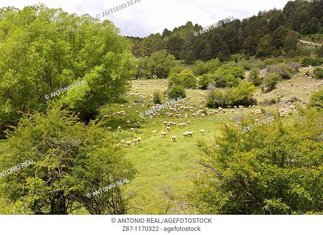 Flock, Serrania de Cuenca Natural Park, Tragacete, Cuenca province, Castilla-La Mancha, Spain