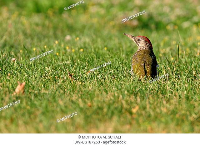 green woodpecker (Picus viridis), fledgeling sits on a meadow, Germany, Rhineland-Palatinate