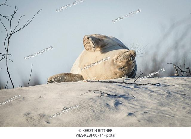 Germany, Helgoland, grey seal sleeping on dune on the beach