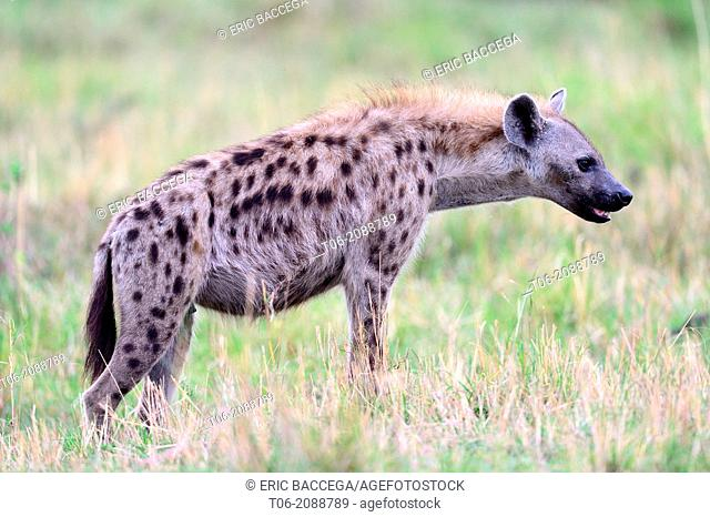 Spotted hyena (Crocuta crocuta), Masai Mara National Reserve, Kenya, Africa, October