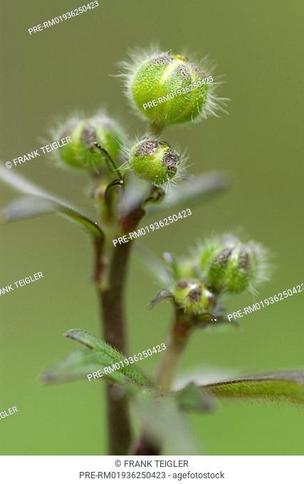 Tall buttercup, Ranunculus acris / Scharfer Hahnenfuß, Ranunculus acris