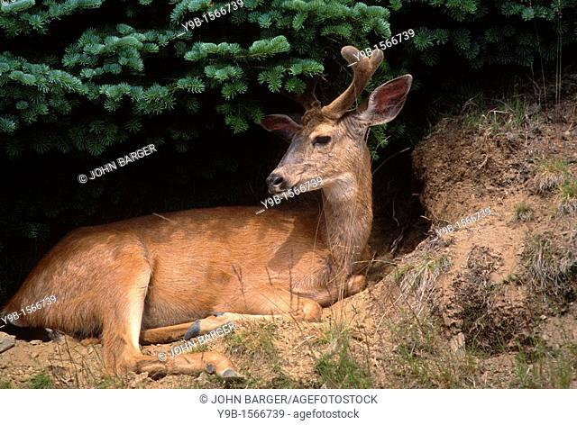 BLACK-TAILED DEER Odocoileus hemionus columbianus male with antlers in velvet, Olympic National Park, Washington, USA