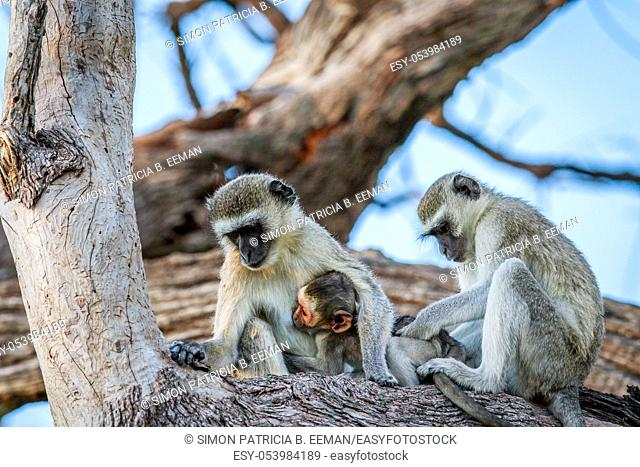 Vervet monkey family sitting in a tree in the Chobe National Park, Botswana