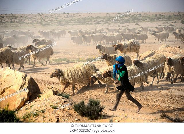 Nomad with flock of sheep along street 211 in Shivta Nationl Park, Desert of Negev, South-Israel, Israel