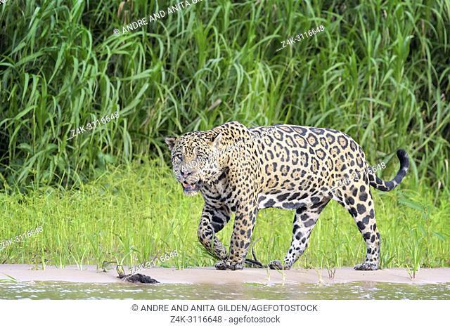 Jaguar (Panthera onca) walking on riverbank, looking at camera, Pantanal, Mato Grosso, Brazil