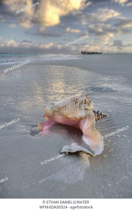 Chonch Shell on Beach, Strombus gigas, Providenciales, Caribbean Sea, Atlantic Ocean, Turks and Caicos